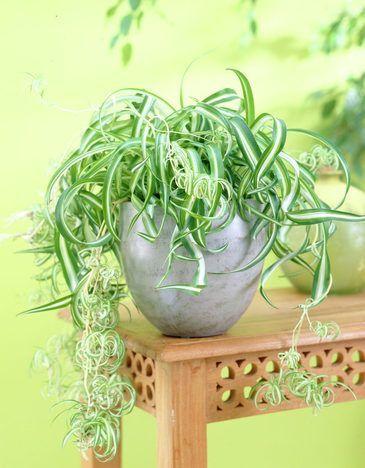chlorophytum bonnie feuilles frisées grand pot