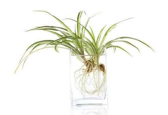 chorophytum eau racines