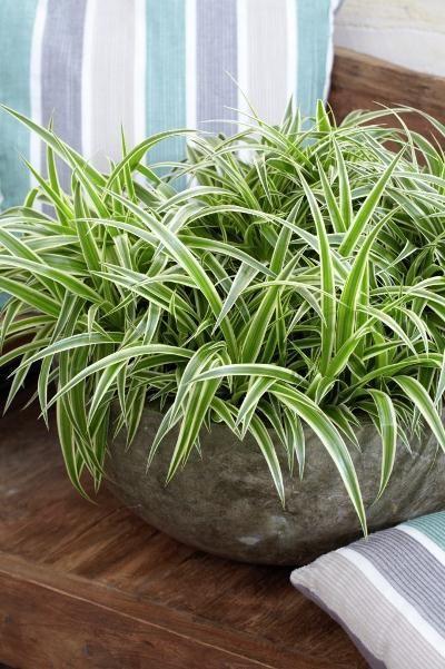 chlorophytum effet buisson