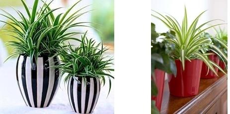 chlorophytum pots