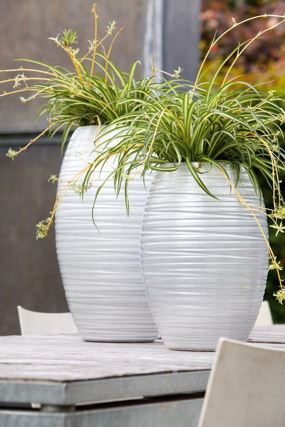 chlorophytum plante exterieur pot