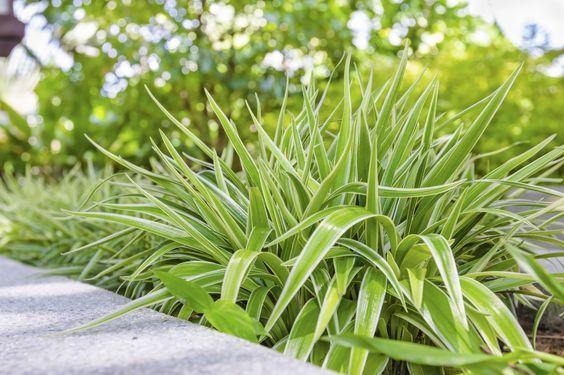 chlorophytum plante exterieur