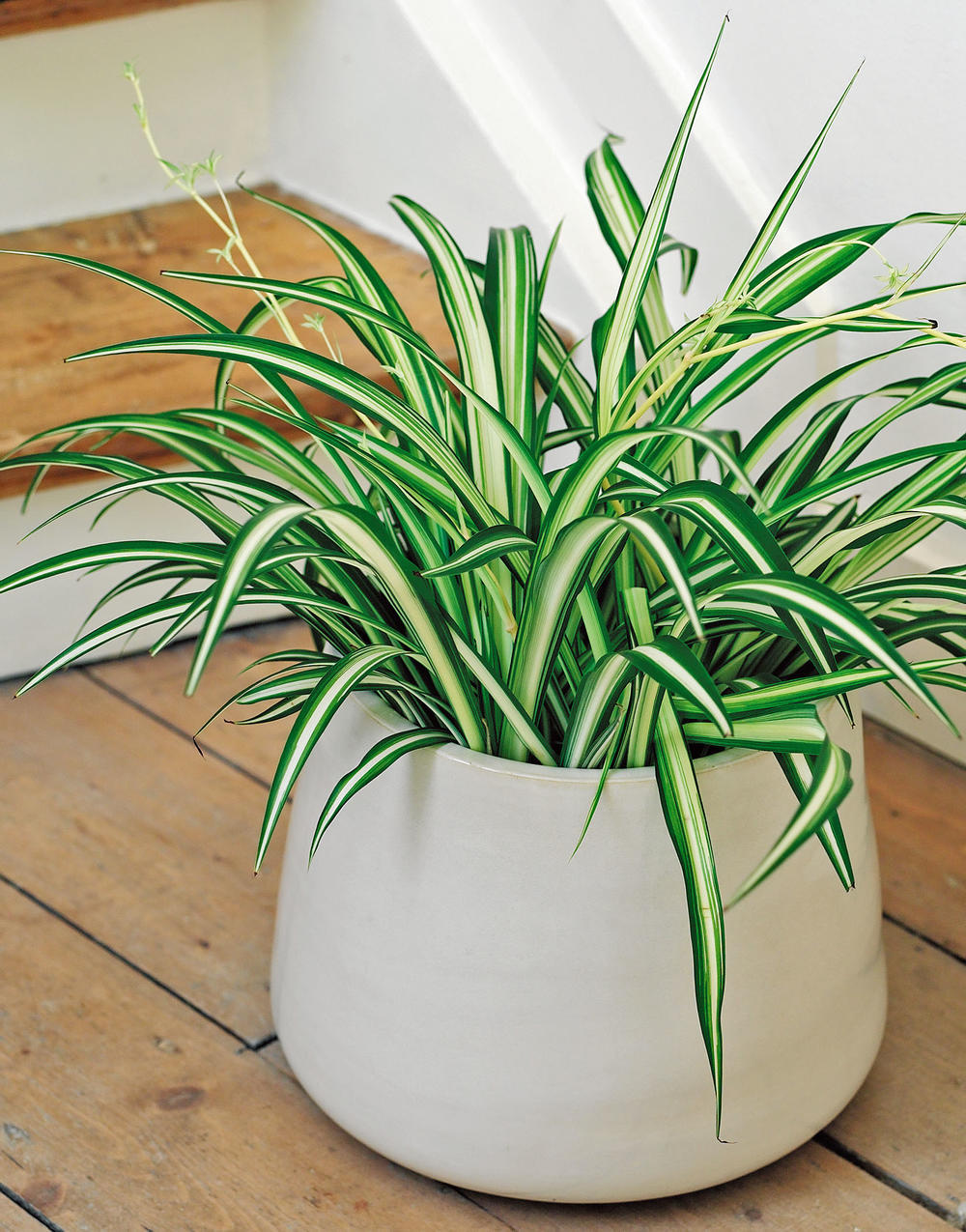 chlorophytum plante interieur pot blanc