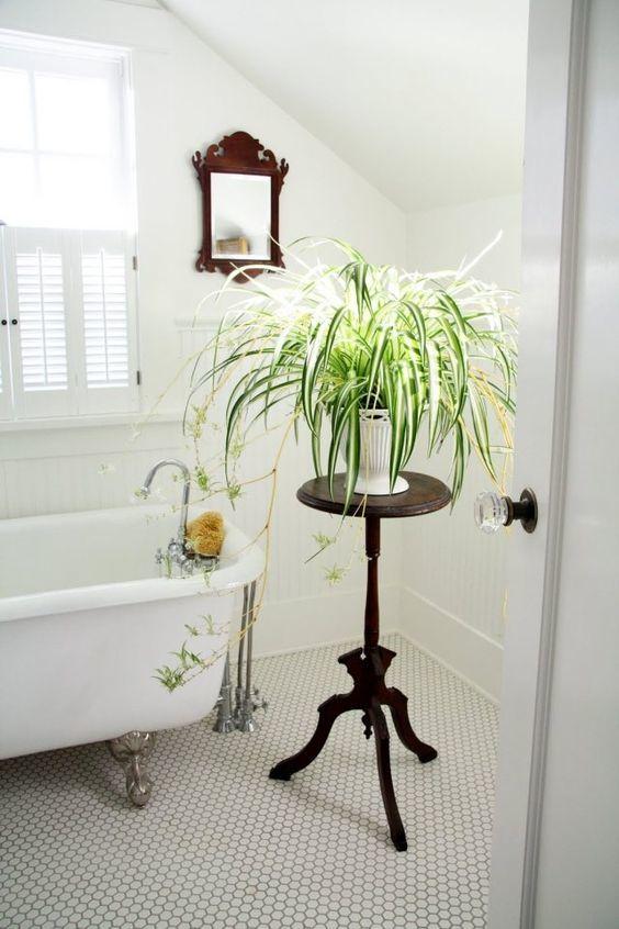 chlorophytum salle de bain lumiere