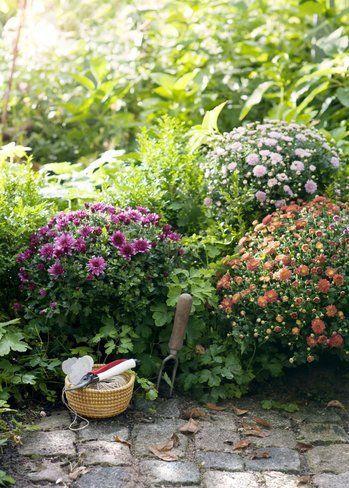 Chrysanthemes jardin automne pleine terre