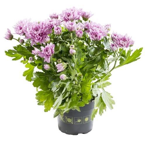 Mini-chrysantheme rose jardiniere botanic