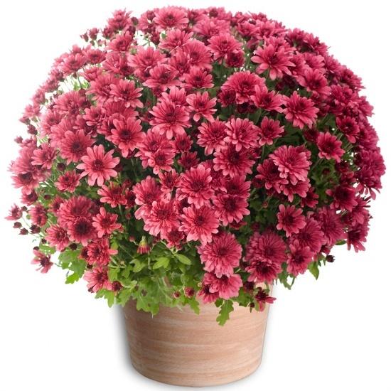 chrysantheme pomponette mauve grenat 123fleurs