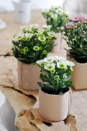 chrysanthemes mini blanc rose pots craft