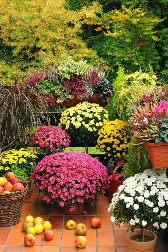 chrysanthemes en pots jardin d'automne pommes