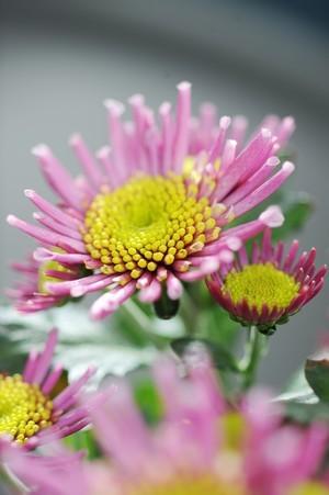 chrysanthemes roses coeur jaune