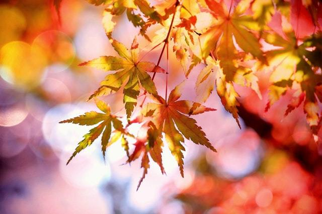 feuilles automne rouge