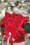 Poinsettia rouge étoile de noël