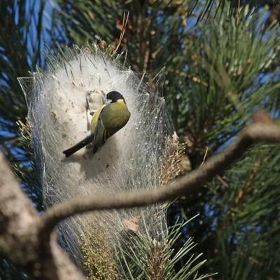 Certains oiseaux consomment les chenilles processionnaires du pin. Ici, prédation de mésange charbonnière sur un nid de processionnaire du pin. Lisez l'article du blog pour en savoir plus.