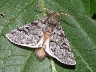 Le papillon de la chenille processionnaire est nocturne (il vit la nuit). La femelle pond jusqu'à 200 œufs, qui éclosent 30 à 40 jours plus tard. Ici Thaumetopoea pityocampa, papillon mâle. Découvrez les 7 moyens de lutte efficaces contre cet insecte sur le blog.