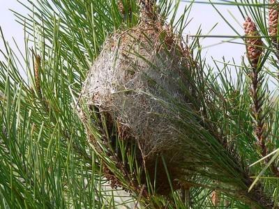 Les jeunes chenilles processionnaires du pin tissent un nid d'hiver, à partir duquel elles sortiront se nourrir des aiguilles au long de leur croissance. Découvrez comment les éliminer de manière naturelle et efficace en lisant l'article du blog.