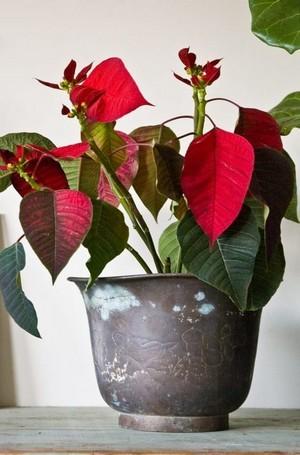 poinsettia qui perd ses feuilles après les fêtes