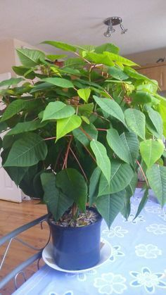 entretien du poinsettia, de belles feuilles vertes à la fin de l'été