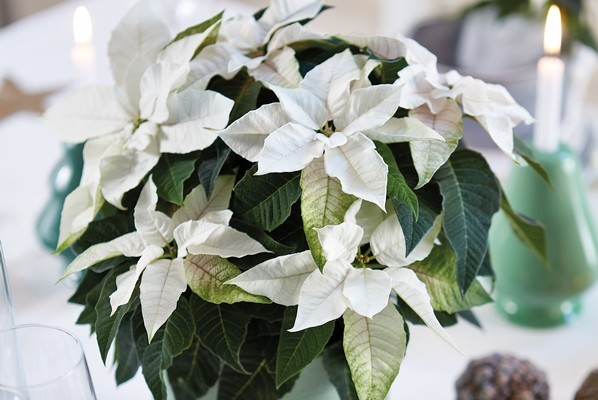 poinsettia blanc étoile de noël
