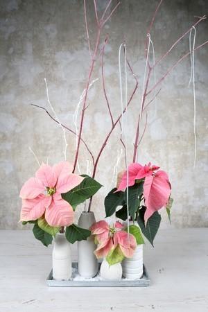 poinsettias roses bouquets de fleurs coupées en vases