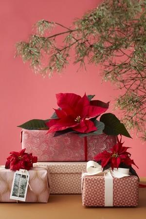 cadeau personnalise fleur poinsettia coupee