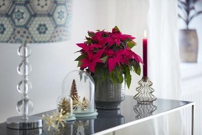 poinsettia rose foncé dans un pot gris décor de noel bougie