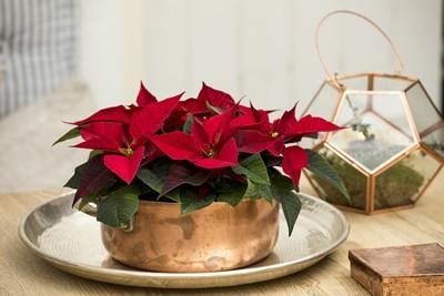 poinsettia rouge dans un cache pot doré et terrarium