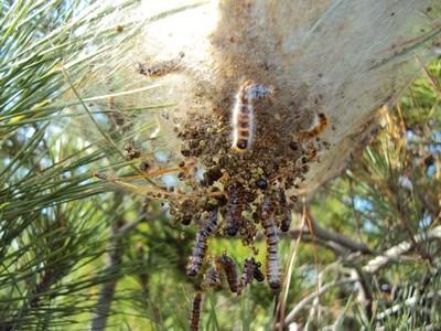 Destruction de chenilles processionnaires avec un insecticide biologique à base de Bacillus thuringiensis. Lisez l'article sur le blog: 7 méthodes efficaces contre cet insecte.