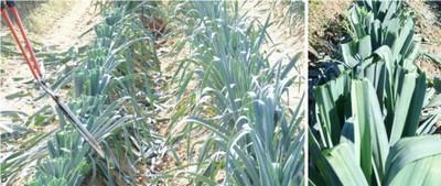 Fauche des feuilles de poireaux pour lutter contre Phytomyza