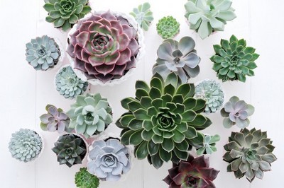 collection de variétés d'echeverias
