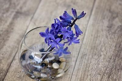DIY - 5 façons de profiter des fleurs de jacinthe à l'intérieur. En fleur coupée par exemple: tige de jacinthe bleue fleurie dans un soliflore avec des galets. Lisez l'article sur le blog pour en savoir plus!