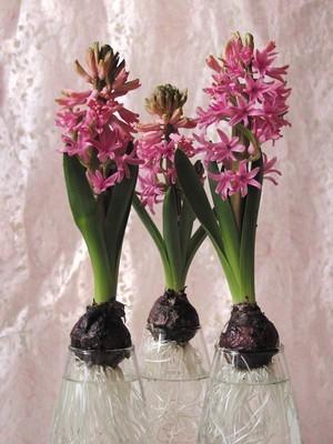 Découvrez sur le blog comment forcer et cultiver des bulbes de jacinthes dans l'eau, en vase ou carafe à l'intérieur.