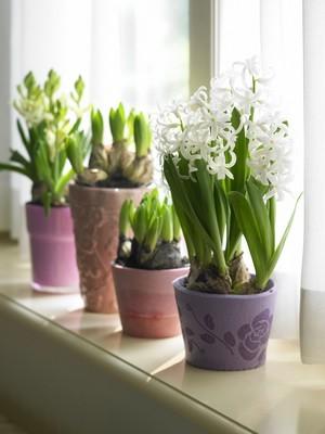 DIY - Forcer et faire fleurir des jacinthes en pot à l'intérieur.