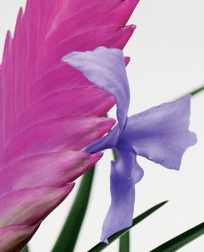Fleur de tillandsia mauve et rose fille de l'air