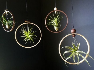 tillandsia plantes suspensions