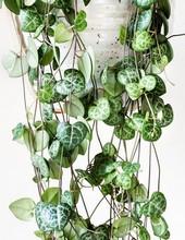 La chaine des coeurs ou Ceropegia woodii, une plante idéale à offrir à la Saint Valentin