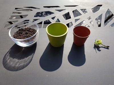 DIY - réaliser facilement une bouture de Sedum palmeri... Très simple à bouturer, lisez l'article sur le blog!