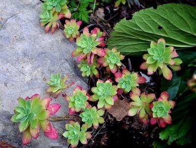 Le Sedum palmeri résiste au gel et se plait au jardin dans des rocailles ou des terres bien drainées. Pour en savoir plus sur sa culture extrêmement facile, lisez l'article sur le blog :)