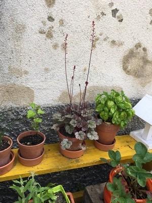 Quelques plantes faciles et un banc jaune égaient une cour: pots d'heuchères, basilic, fraisiers. Lisez l'interview de Cécile, une maman qui jardine avec des plantes résistantes.