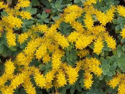 Le Sedum palmeri fleurit en hiver, dès février. Ses fleurs jaunes illuminent son feuillage bleu vert.
