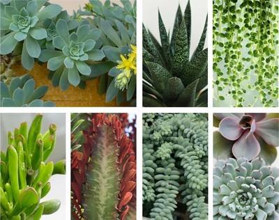 Sedum palmeri: découvrez des idées d'association avec des plantes d'intérieur ou d'appartement, pour de sublimes camaieux de couleurs. Lisez l'article sur le blog.