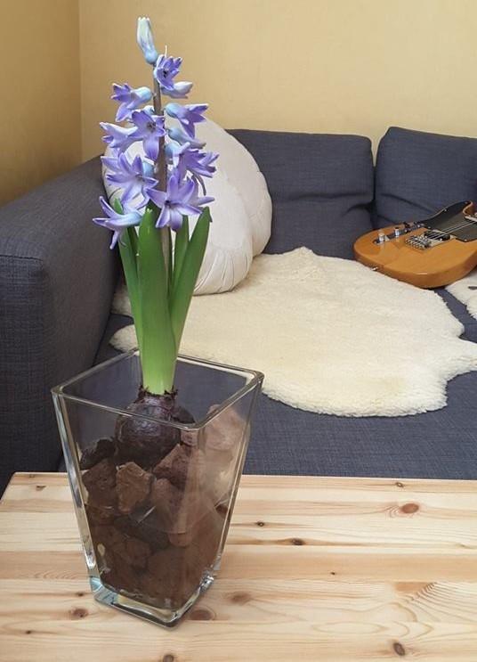 DIY: faites fleurir facilement des jacinthes à l'intérieur. Lisez l'article du blog pour découvrir comment cette jacinthe bleue pousse facilement dans un vase rempli d'eau et de simples cailloux de pouzzolane