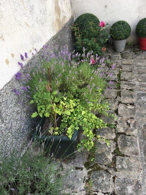 Jardiniere de lavande et buis dans une cour pavée à l'ancienne. Avez-vous remarqué que c'était du faux buis? Découvrez les plantes résistantes et les astuces de Cécile, une maman qui jardine.