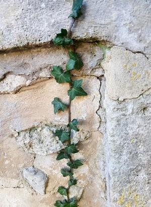 Le lierre, une plante sans prétention qui embellit un vieux mur. C'est une plante astuce recommandée par Cécile, dans son témoignage de maman qui jardine!