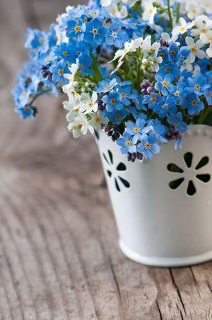 """Myosotis ou """"Ne m'oublie pas"""": une jolie fleur à offrir comme cadeau à la Saint Valentin"""