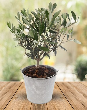 Un olivier: une belle idée de plante en cadeau pour la Saint-Valentin