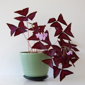 Oxalis triangularis ou trèfle rouge: une jolie plante aux feuilles en forme de coeur rouge idéale à offrir à la Saint Valentin