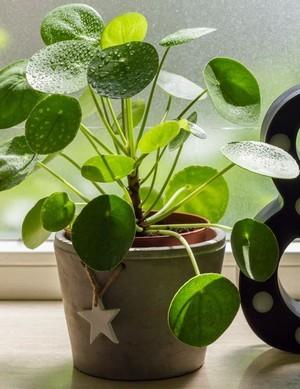 Le piléa: une plante porte bonheur idéale à offrir à la Saint Valentin