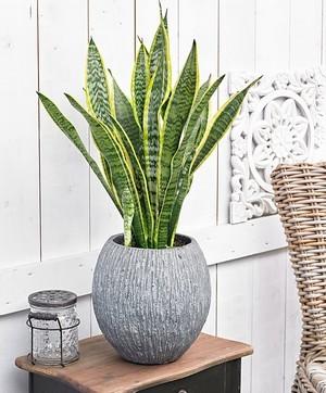 Offrez une plante qui du piquant avec la sansevière (sansevieria)