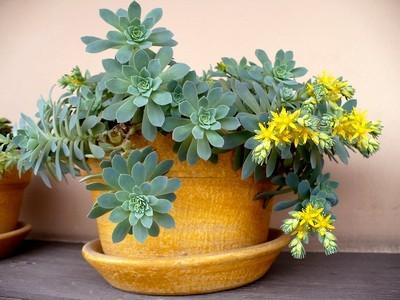 Le Sedum de Palmer a des petites feuilles vert bleu en forme de rosettes. Ses jolies petites feuilles jaunes apparaissent dès février. Idéal en hiver où il n'y a encore que peu de couleurs... Découvrez cette plante de culture facile sur le blog.