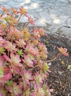 Sedum palmeri est une plante grasse très résistante. Ses rosettes se colorent de rouge rosé en hiver en fonction de la luminosité. Plus d'info sur la culture hyper facile de cette plante grasse sur le blog...